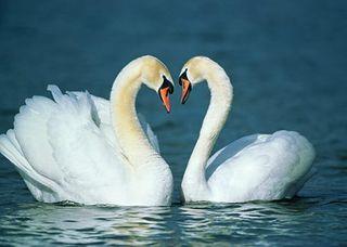 Alg_swans